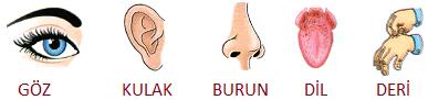 beş duyumuz kulak burun deri dil göz