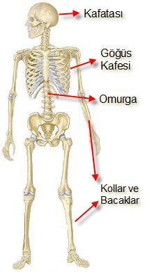 iskeletin bölümleri