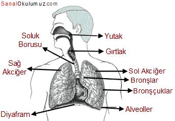 solunum sistemi 6.sınıf